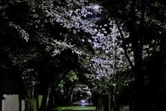 夜桜の通い道