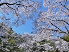 満天の桜・・
