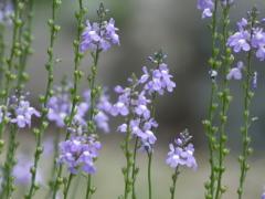揺れて咲く花