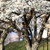桜の木登り