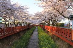 韓国 シンカイ市の桜