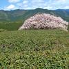 茶畑に立つ桜