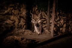 ワイルド鹿