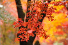 平林寺の紅葉⑥