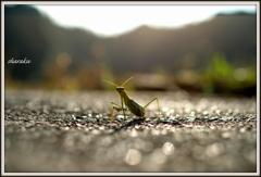 カマキリの散歩道 ②