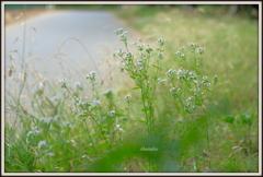 白い花の散歩路