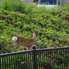偶然の出合い「バンビ」1