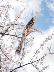 桜を泳ぐ鯉のぼり