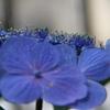 ガクアジサイの花-2