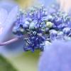 ガクアジサイの花-1