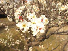 平芝の梅(4)