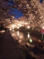 五条川の桜 #3