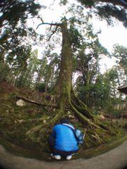 妙楽寺の巨木