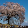ワニ塚の桜の木の下で