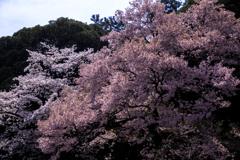 2018_桜20