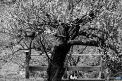梅の樹の下で。