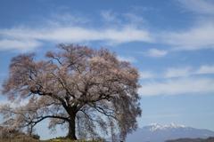 桜の樹の下で#1