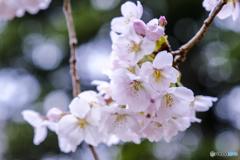 2018_桜1