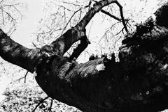 新宿御苑の桜の木