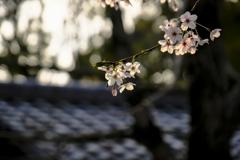 2018_桜18