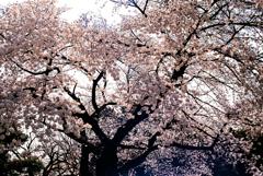 新宿御苑の桜咲く