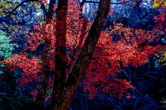 森林の紅葉2