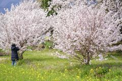 春めき桜7