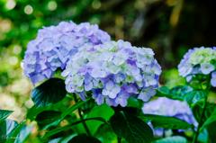 鎌倉の紫陽花6