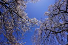 桜花の空を見上げて