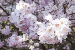 春めき桜6