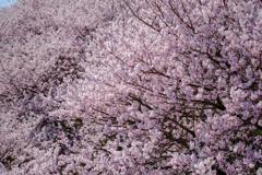 春めき桜5