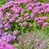 紫陽花畑3
