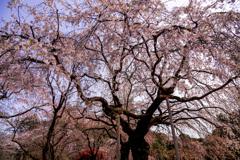 御苑の枝垂