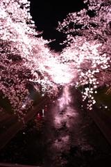 五条川 夜桜 5
