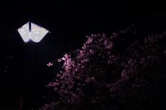 五条川 夜桜 3