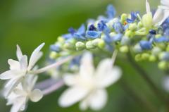 額紫陽花(1)