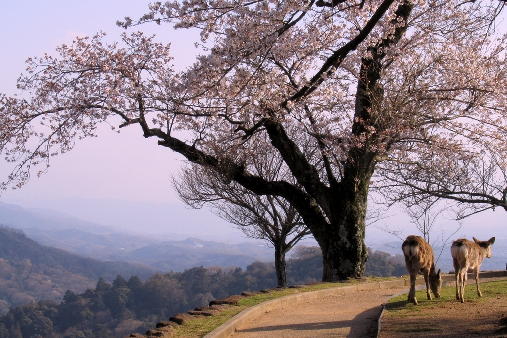 桜と鹿々。
