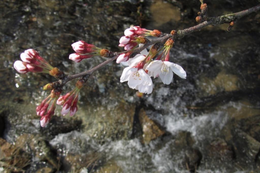 俯瞰で桜。