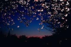 マジックアワーの桜