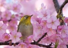 さくらひかりに包まれて    春はいいなあ~