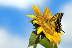 夏アゲハ 黄と黄