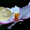 蝶々三昧 白き光に魅せられて