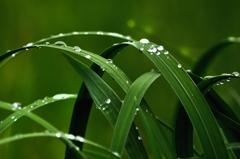 雨上がりの葉上