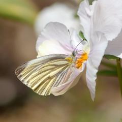 春を吸う スジグロシロチョウ