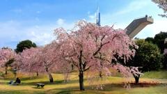 枝垂れ桜と展望台