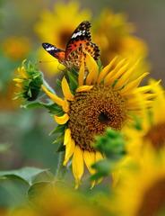 劇画 蝶とひまわり