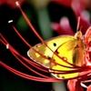 蝶々三昧 透けモンキ