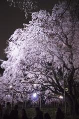 リベンジ:夜桜01