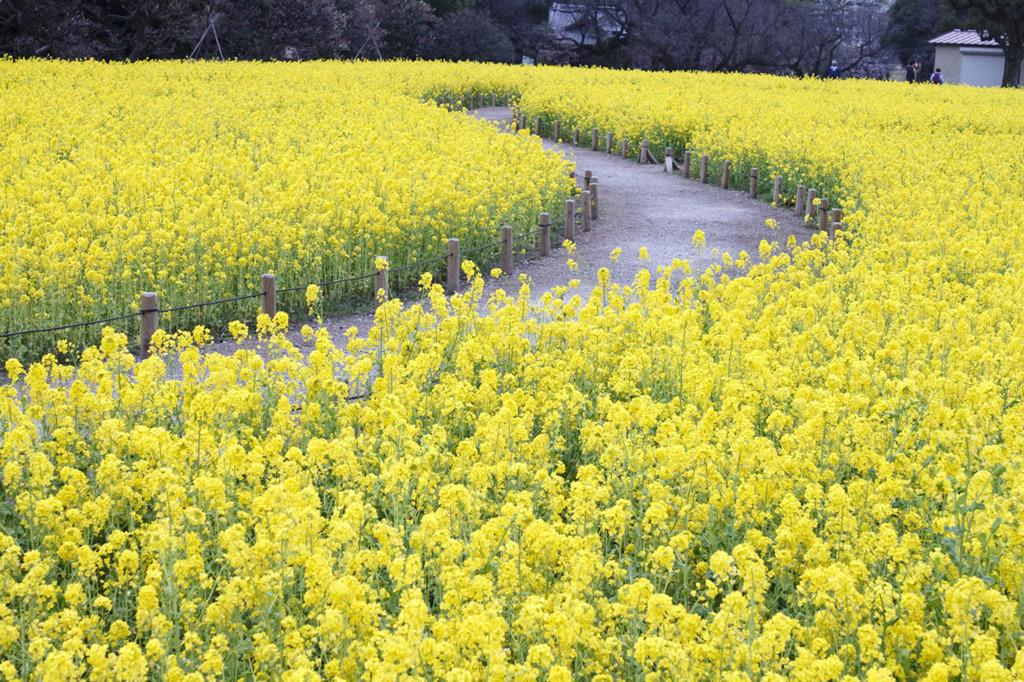 春が香る道