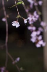 リベンジ:夜桜06